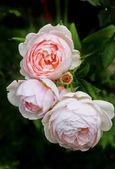 Three faintly pink roses — Stock Photo