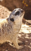 Meercat Meerkat face shot — Stock Photo