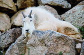 American Mountain Goat — Stock Photo