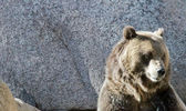 American grizzly bear face shot — Stock Photo