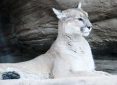 Mountain lion, puma — Stock Photo