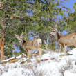 Two mule deer foraging for food in snow — Stock Photo #50211525