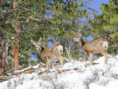 Two mule deer foraging in snow — Stock Photo