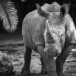 Black and white rhino — Stock Photo #34635213