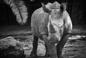 Black and white rhino — Stock Photo