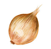Watercolor onion — Stock Photo