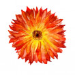 flower of calendulee — Stock Photo