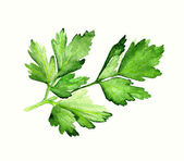 Watercolor parsley — Stock Photo