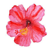 Flower of hibiscus — Stock Photo
