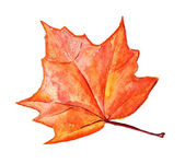 Autumn maple leaf — Stock Photo