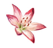 Watercolor red-white lily — Stock Photo