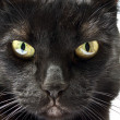 Muzzle of a black cat - Stock Photo