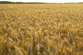Background field with rye spikelets — Stock Photo