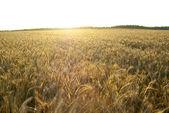 Hintergrund mit ohren von weizen-roggen-feld bei sonnenuntergang — Stockfoto