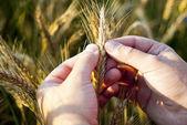 检查黑麦种子的性质 — 图库照片