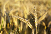 Ears of rye in nature — Stock Photo
