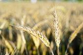 Ears of rye in the background field — Stock Photo