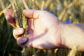Hand checking rye seeds in nature — Stock Photo
