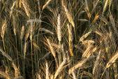 小穂とライ麦のフィールド — ストック写真