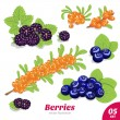 Set of blackberries, blueberries and sea buckthorn — Stock Vector