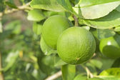 Young pomelo — Stock Photo