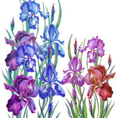 Watercolor irises in a classical style on a white background — Stock Photo
