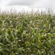 Stock Photo: A green field of corn