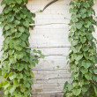 Green creeper — Stock Photo