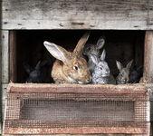 Mother rabbit with newborn bunnies — Stock Photo
