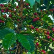 Ripening Coffee Berries — Stock Photo #13241013
