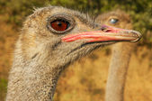 Ostrich Closeups — Stock Photo