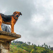 Royalty-Free Stock Photo: Angry Dog on a Roof