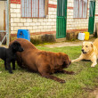 Three Labradors Playing — Stock Photo #13560159