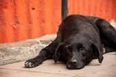 Dog Laying on Sidewalk Thinking — Stock Photo