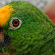 Closeup of  Green Parrot — Stock Photo