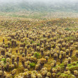 Frailejon Plants in Colombia - Zdjcie stockowe