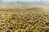 Frailejon pflanzen in kolumbien — Stockfoto