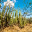 A Forest of Cactus — Stock Photo