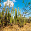 Stock Photo: Forest of Cactus