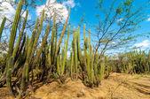 Ein Wald von Kaktus — Stockfoto