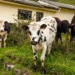 Cows Looking at the Camera — Stock Photo #22726303