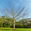 Stock Photo: Large Leafless Tree