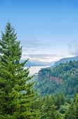 Pine Tree and Columbia River Gorge — Stock Photo