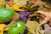 Starfish and Anemones — Stock Photo