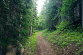 Evergreen Forest Path — Stock Photo