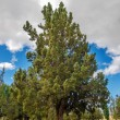 Pine Tree — Stock Photo #29286995