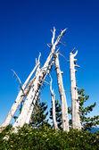 Grove of Dead Trees — Stock Photo