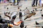 Hand Fed Pigeons — Stock Photo