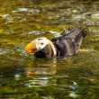 Puffin in Water — Stock Photo