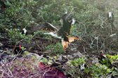 Flying Frigatebird — Stock Photo